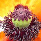 Middle of a Poppy by Vicki Spindler (VHS Photography)