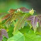 Early Maple Leaves by Lynn Gedeon