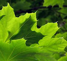 green maple leaves by Linda  Makiej