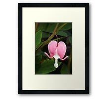 Pink Bleeding Heart Flower Framed Print