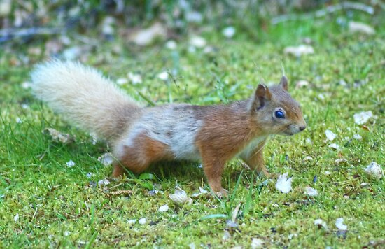 The Grey and Red Squirrel by Jamie  Green