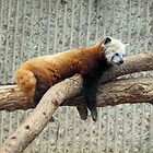 Red Panda by Jennifer  Arganbright