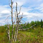 Birch Tree by Jim Sauchyn