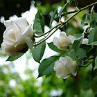 White roses by Ivo Velinov