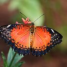 lacewing beauty by Linda Makiej