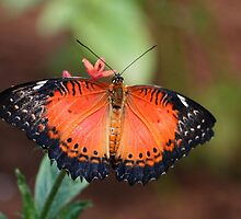 lacewing beauty by Linda  Makiej Photography