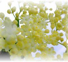 Elderflowers by andreajansen