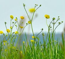 buttercup meadow by carolhynes