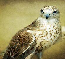 The Saker Falcon Stare by Aj Finan