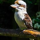 The serious Laughing kookaburra by Tom Migot