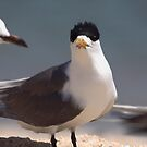 Crested Tern ... inspection time by Kerryn Ryan, Mosaic Avenues