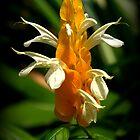Golden Shrimp Plant by freevette