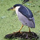 Black crowned night Heron by Dennis Cheeseman