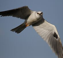 White Tailed Kite Mid Air Pose by DARRIN ALDRIDGE