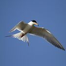 Artic Tern Up Close In Flight by DARRIN ALDRIDGE