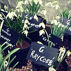 Snowdrops at Anglesey Abbey by TallulahMoody