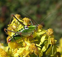 Green Grasshopper on a Yellow Flower by Kostas  Plousios