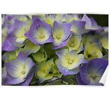 Blue Hydrangea Macrophylla Poster