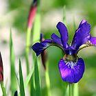 Wild Iris  by Paula Tohline  Calhoun