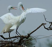 Great White Egrets by Bob Christopher