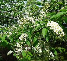 Mayday tree flowers by Jim Sauchyn