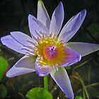 Water Lily by Rob Bryant