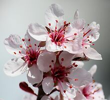Spring Blossoms by hummingbirds