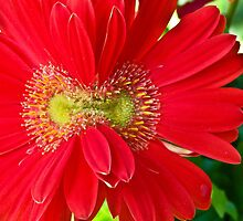 Double Bloom Gerbera by Tisha Clinkenbeard