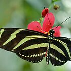 Butterfly on Red Flower by msqrd2