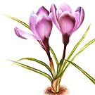 Botanical purple crocus study flower card by Sarah Trett