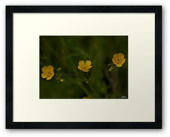 Three Meadow Buttercups - Burntollet Woods, County Derry by George Row