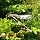 Damselfly in Hawthorn by AH64D