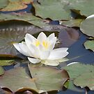 Glorious White Water Lily by karina5