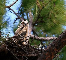 """  Great Horned Owlet  "" by fortner"