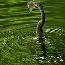 Anhinga Captures Brim by Joe Jennelle