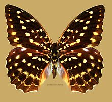 Speckled Hen Butterfly by Walter Colvin