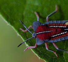 Stink bug. by Stephen Brown