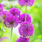 Allium Traum by Aviana