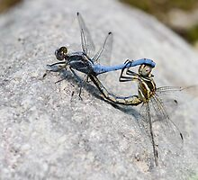 Mating Small Skimmers by Robert Abraham