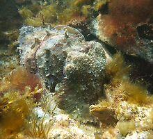 Giant Australian Cuttlefish (Sepia apama) camouflage rocks by Dan & Emma Monceaux