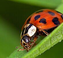 Ladybird - Ladybug - Marienkäfer - Glückskäfer by Henry Jager