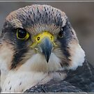 Lanner Falcon by alan tunnicliffe