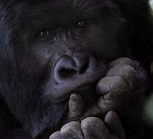 Young Silverback Reflecting by Carole-Anne