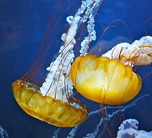 Pacific Sea Nettles by Karlim