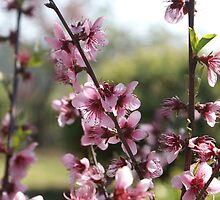 Cherry blossom in Hill End by wallflowerarts