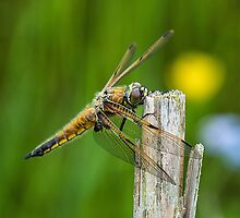 Four Spotted Chaser by Jackie Burrell