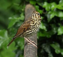 Things are loooking up!  - Young Song Thrush by Rivendell7