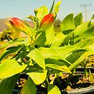Alstroemeria by unstoppabls