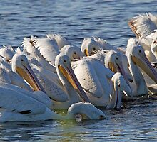 A white pelican feeding frenzy by jozi1