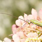 Praying Mantis on Hydrangea by Renee Dawson